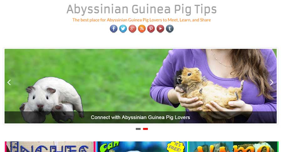 Abyssinian guinea pig tips